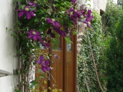 Clematis in full bloom at Anstey Mills Cottage